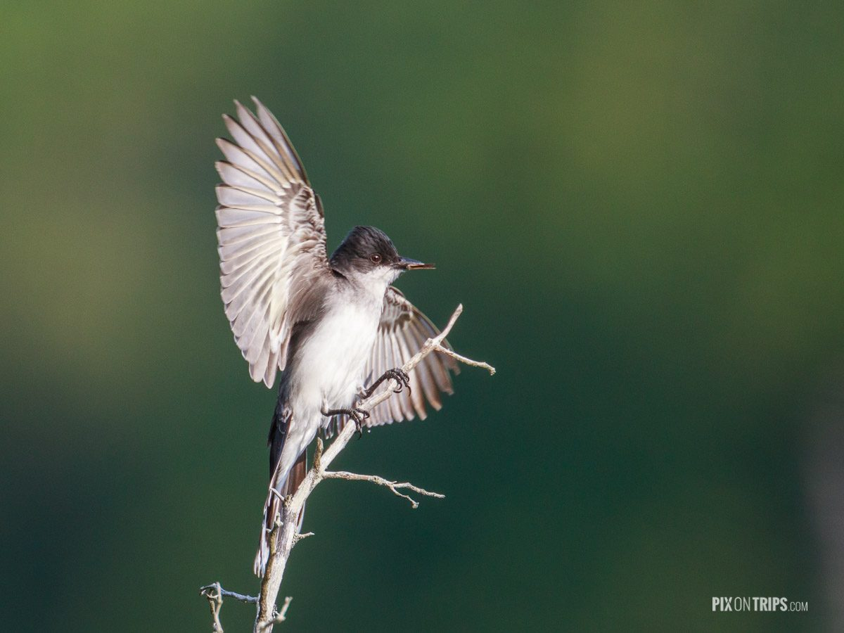 Eastern kingbird with insect between the bills, Murphy's Point Provincial Park