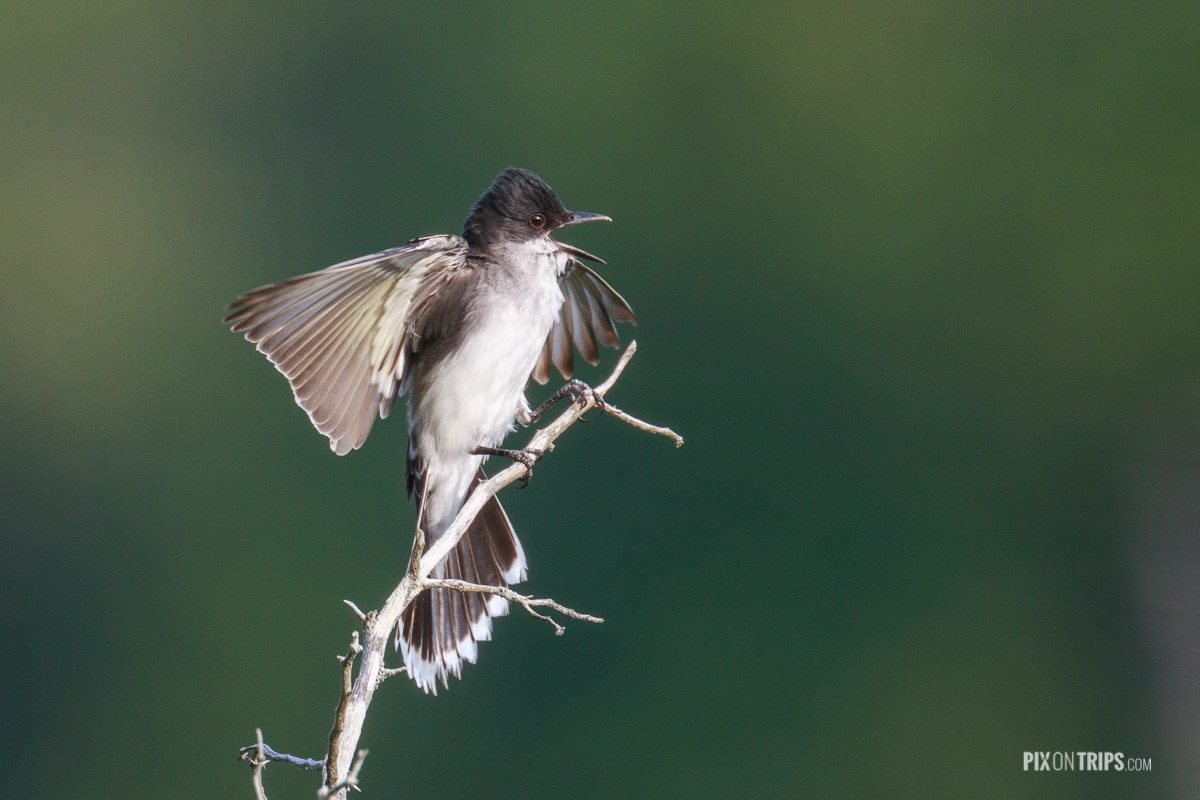 Eastern kingbird with open bills, Murphy's Point Provincial Park - Pix on Trips