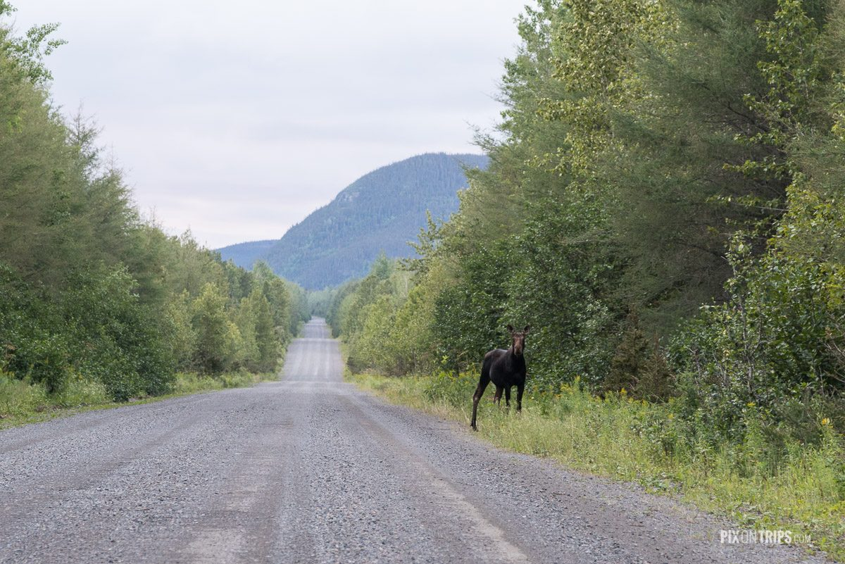 Moose in Parc de la Gaspésie of Quebec, Canada