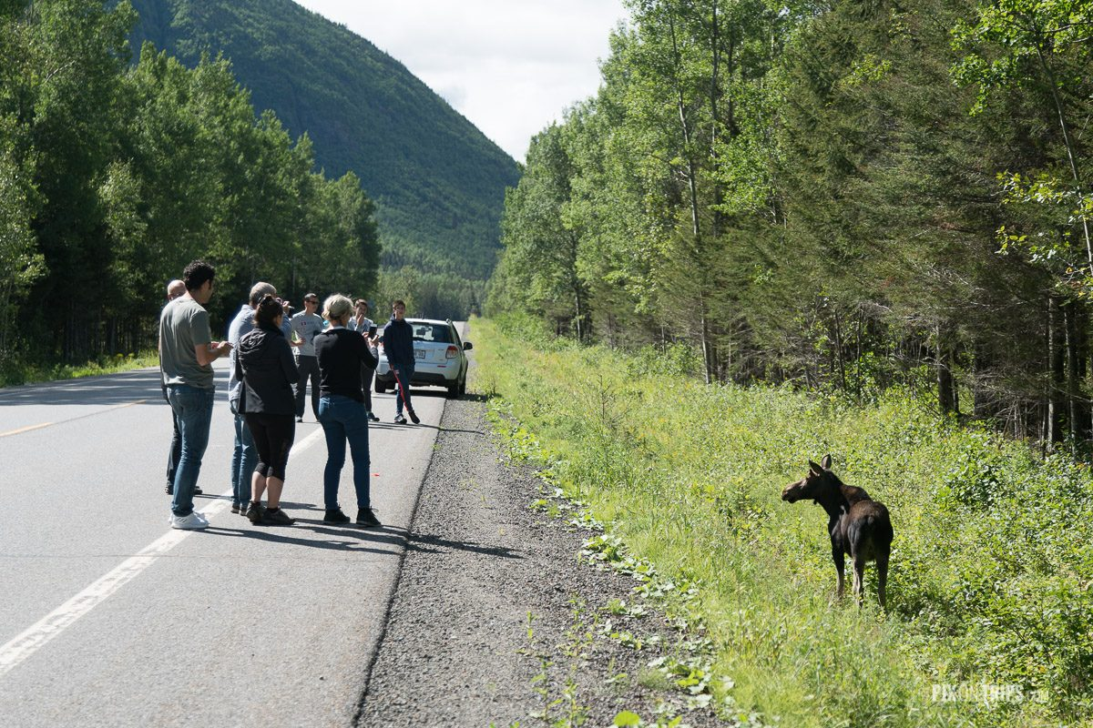 Visitors in Parc de la Gaspésie of Quebec pull over their vichle to take photos of a moose by autoroute 299