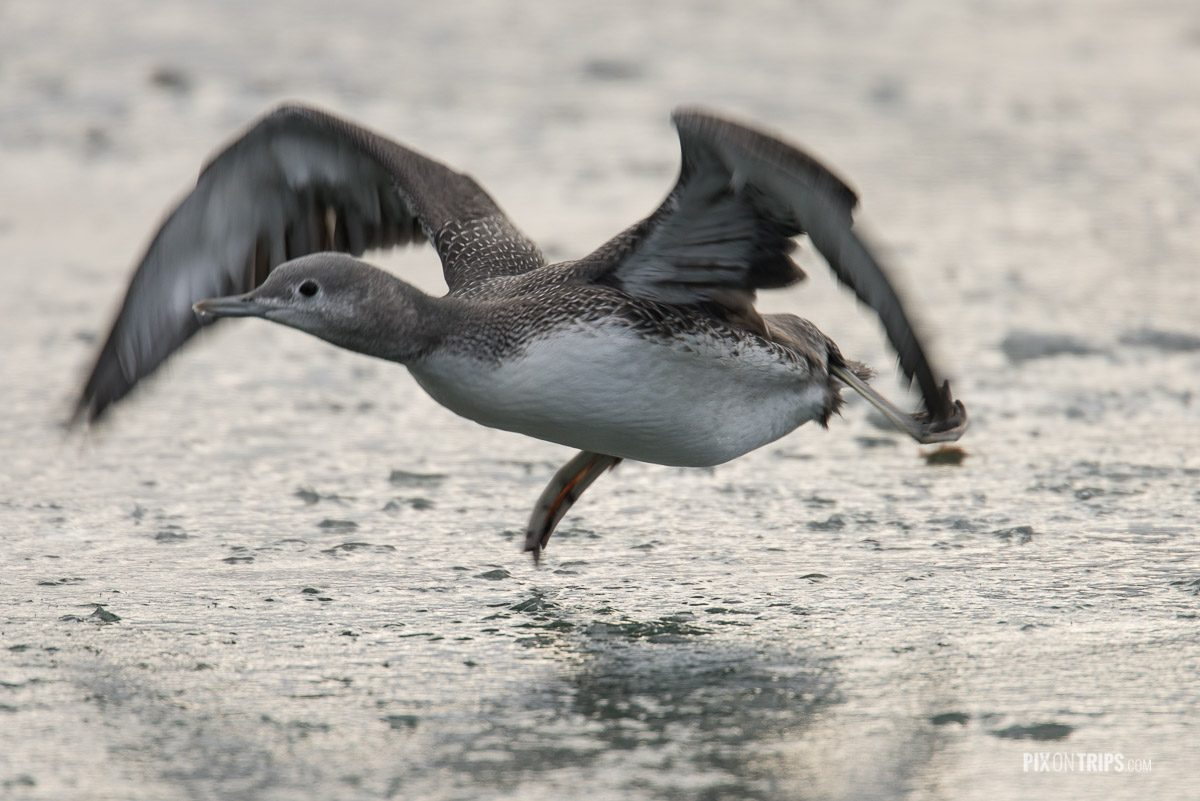 An injured juvenile red-throated loon attempts to fly from a frozen pond, Ottawa
