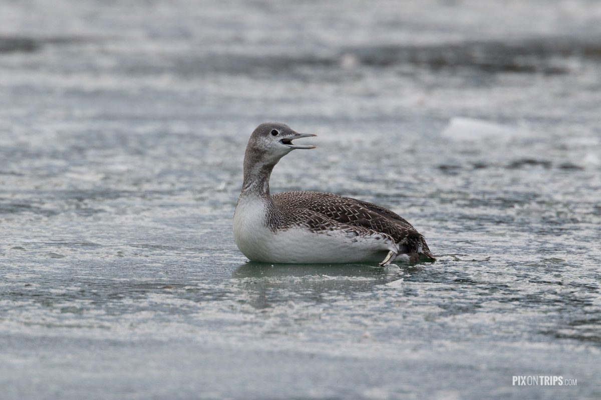 An injured read-throated loon lays on frozen ice and calls for help