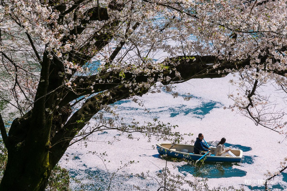 Couple peddle in the Chidorigafuchi canal full of cherry blossom petals, Tokyo, Japan - Pix on Trips