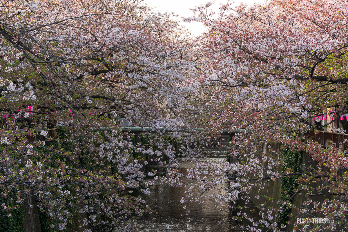 Cherry blossom along the banks of Meguro River, Tokyo, Japan - Pix on Trips