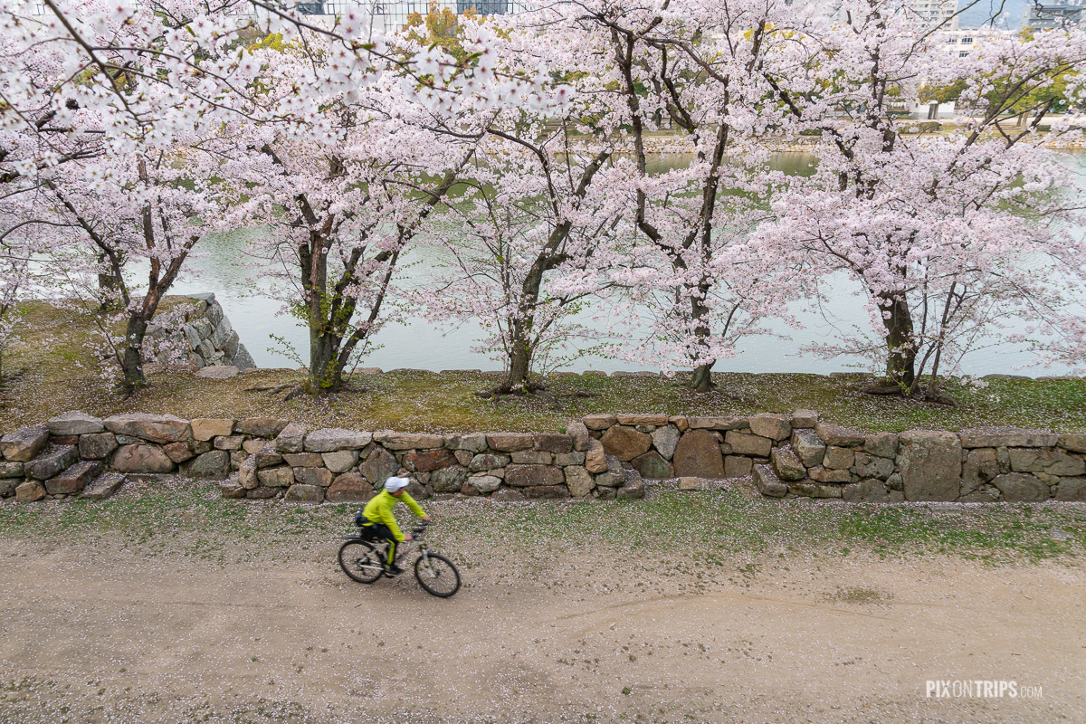 A cyclist looks at the cherry blossom trees by the moat of the Hiroshima Castle - Pix on Trips