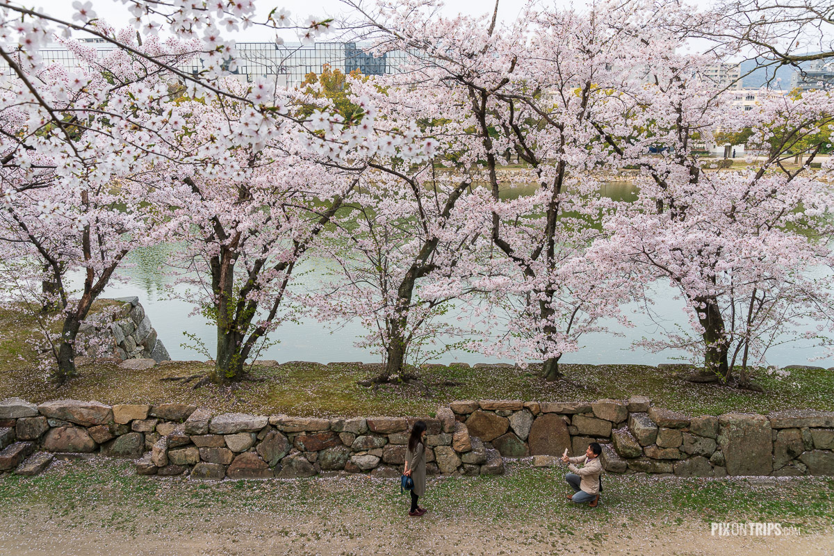 A man takes photo of his girl friend in front of beautiful cherry blossom trees by the moat of HIroshima castle - Pix on Trips