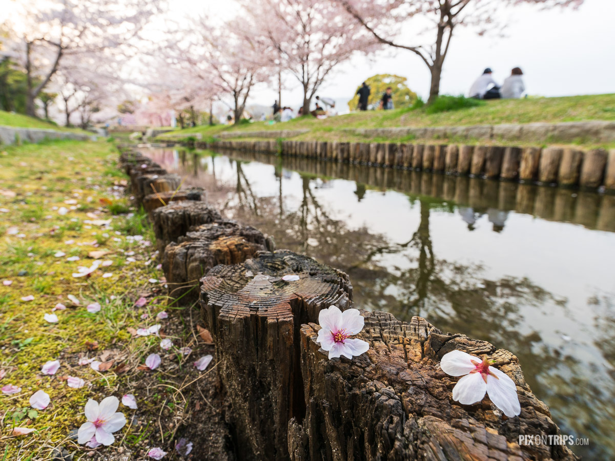 People gather under cherry blossom trees by the river in Hiroshima, Japan - Pix on Trips