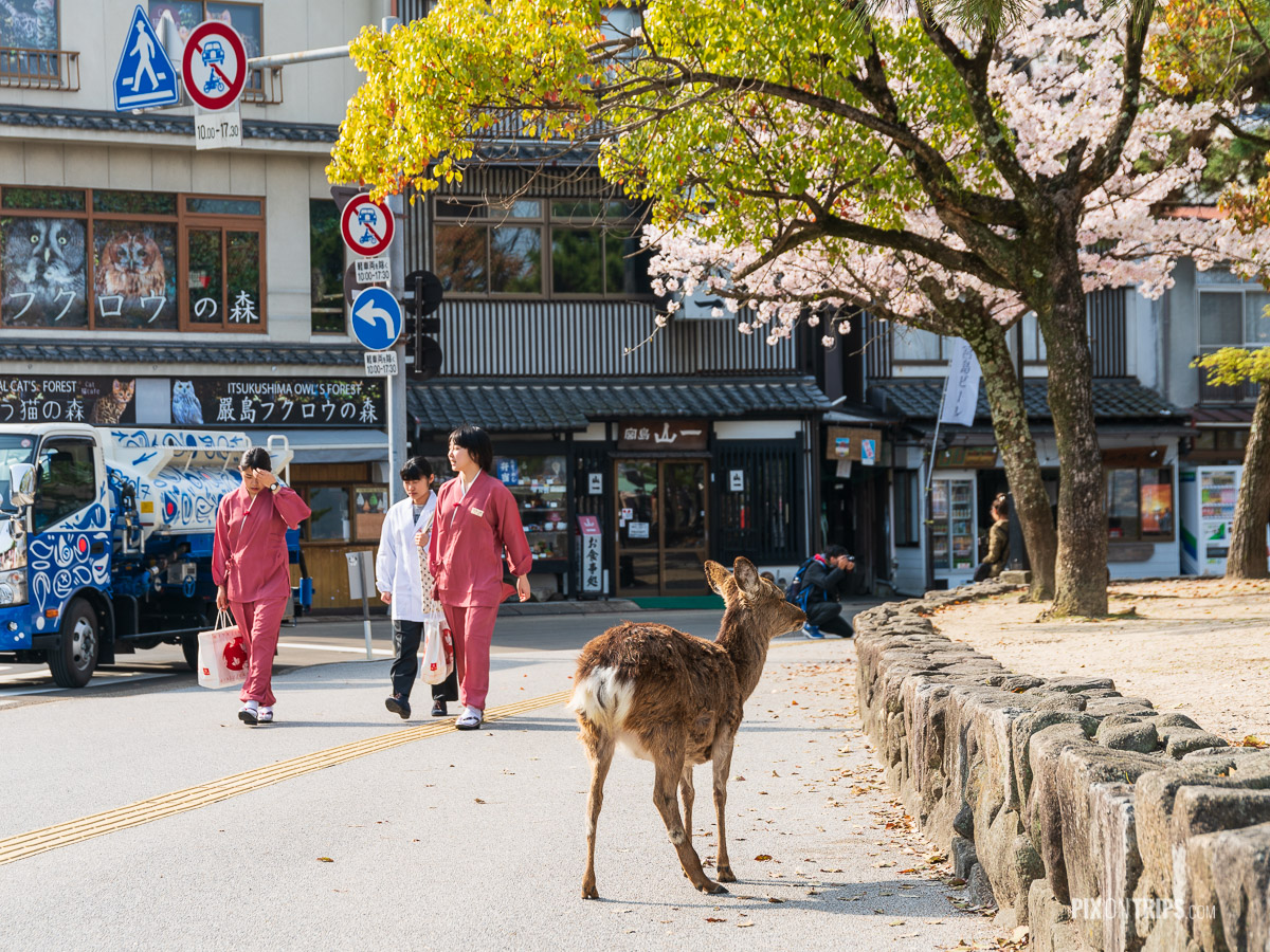 Deer wanders on the street of Miyajima, Japan - Pix on Trips