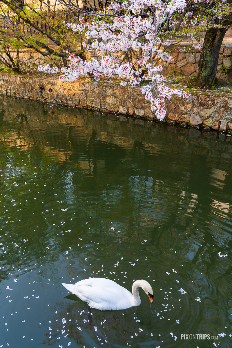 Swan swimming in the historical Kurashiki Canal scattered with cherry blossoms - Pix on Trips