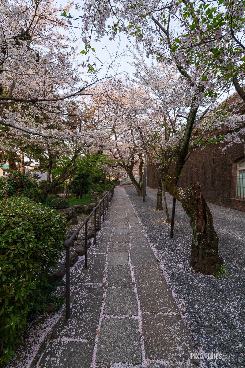 Garden path full of cherry blossom petals in the Bikan Historical Quarter, Kurashiki, Japan - Pix on Trips