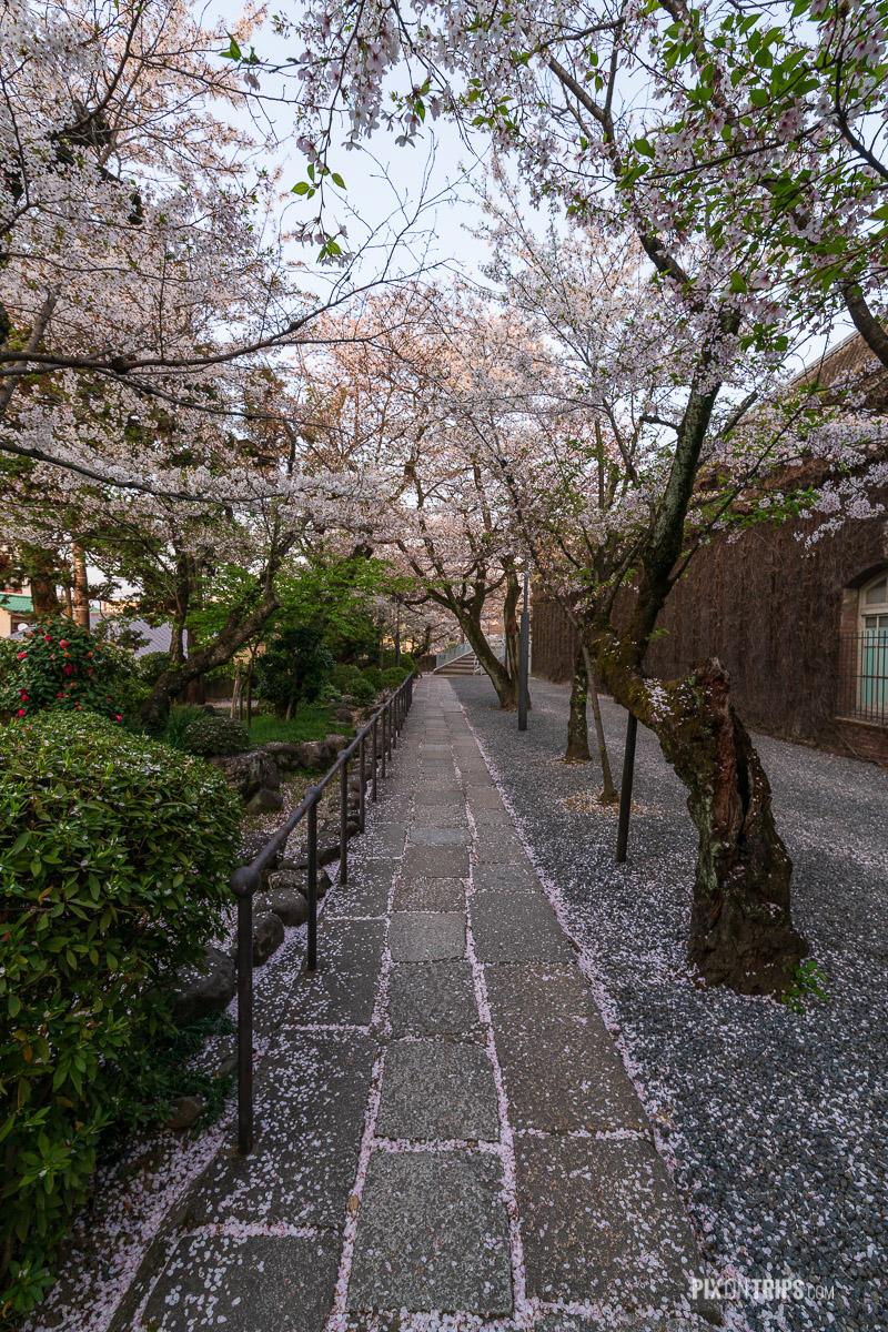 Garden path full of cherry blossom petals in the Bikan Historical Quarter, Kurashiki, Japan - Pix on Trips