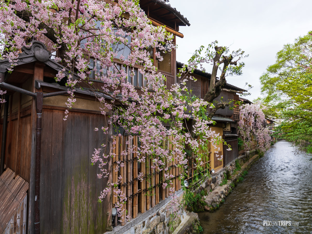 Wooden houses by the river in cherry blossom season in the Gion District of Kyoto, Japan - Pix on Trips