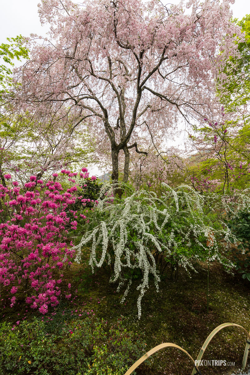 Blossom trees in the Tenryū-ji Garden, Kyoto, Japan - Pix on Trips