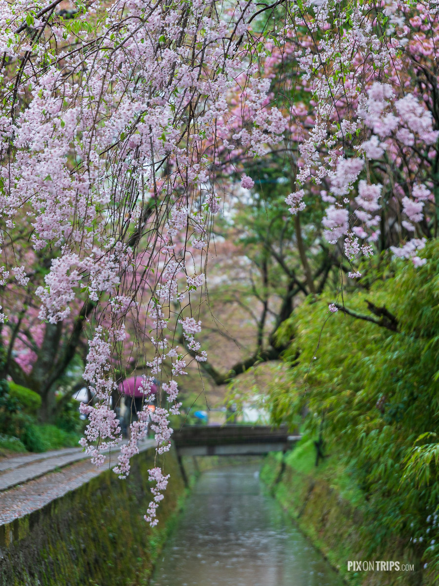 Philosopher's Path in Spring in a rainy day, Kyoto, Japan - Pix on Trips
