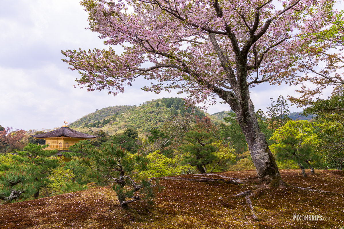 Kinkaku-ji (Golden Pavilion) in spring, Kyoto, Japan - Pix on Trips