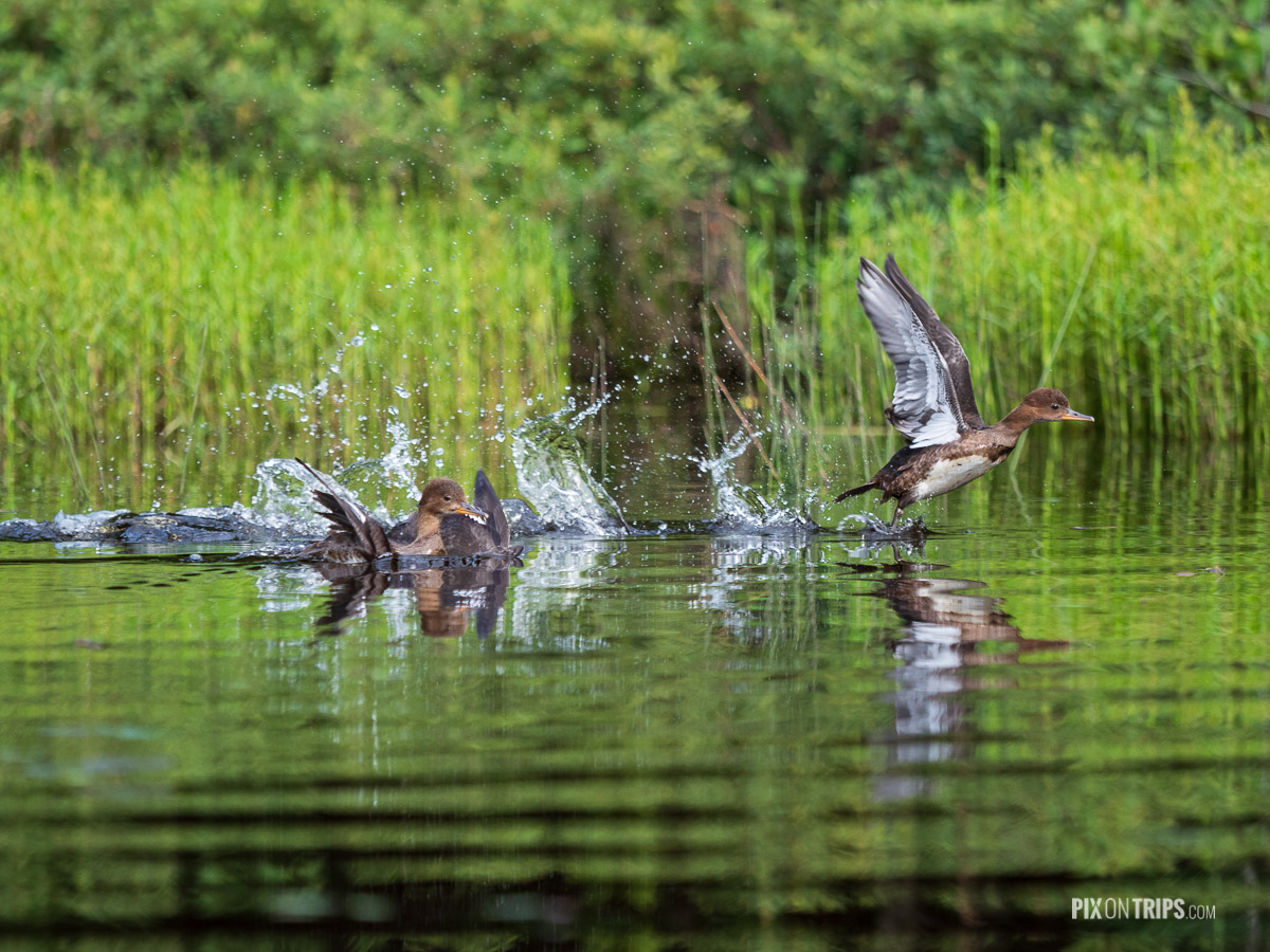 Ducks take off from lake, Parc National du Mont-Tremblant, Quebec - Pix on Trips