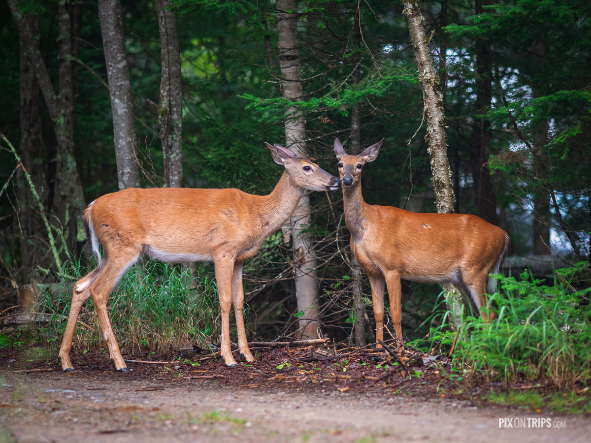 White-tailed deers in Parc National du Mont-Tremblant - Pix on Trips