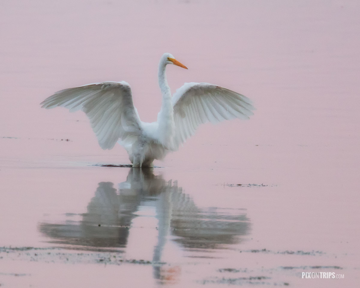 Great egret with wings spread on Ottawa River, Ottawa, Canada - Pix on Trips