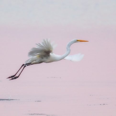 Great egret takes off from Ottawa River at dawn, Ottawa, Canada - Pix on Trips