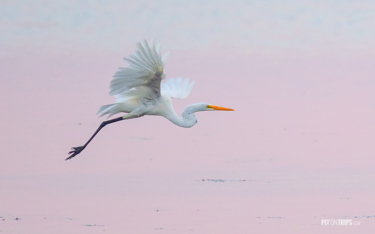 Great egret flying over river with pink reflections, Ottawa, Canada - Pix on Trips
