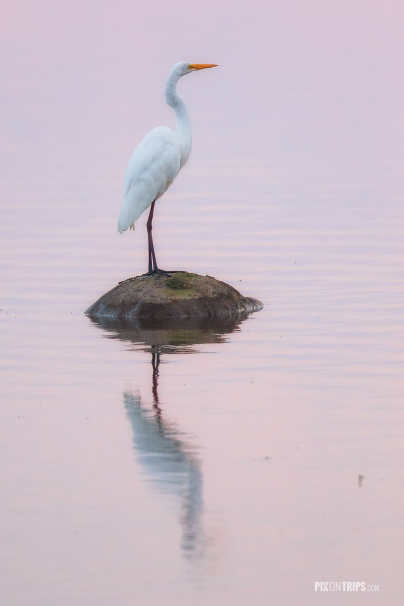 Great egret perching on a rock surrounded by water with pink reflections, Ottawa, Canada - Pix on Trips