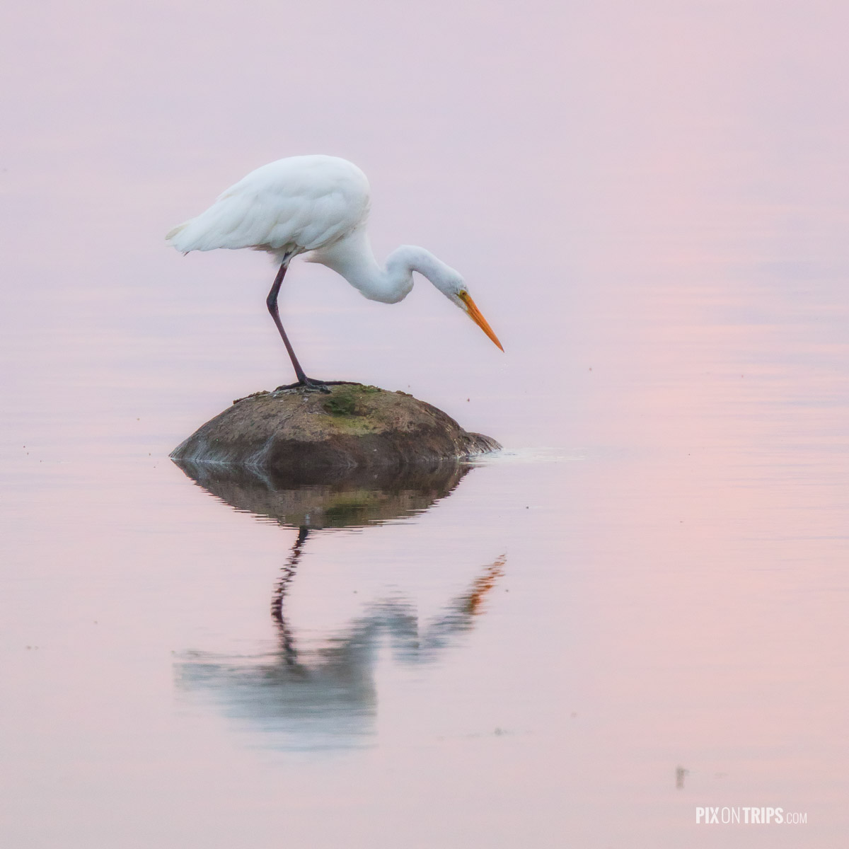 Egret perching on a rock surrounded by water with pink reflections at dawn, Ottawa, Canada - Pix on Trips