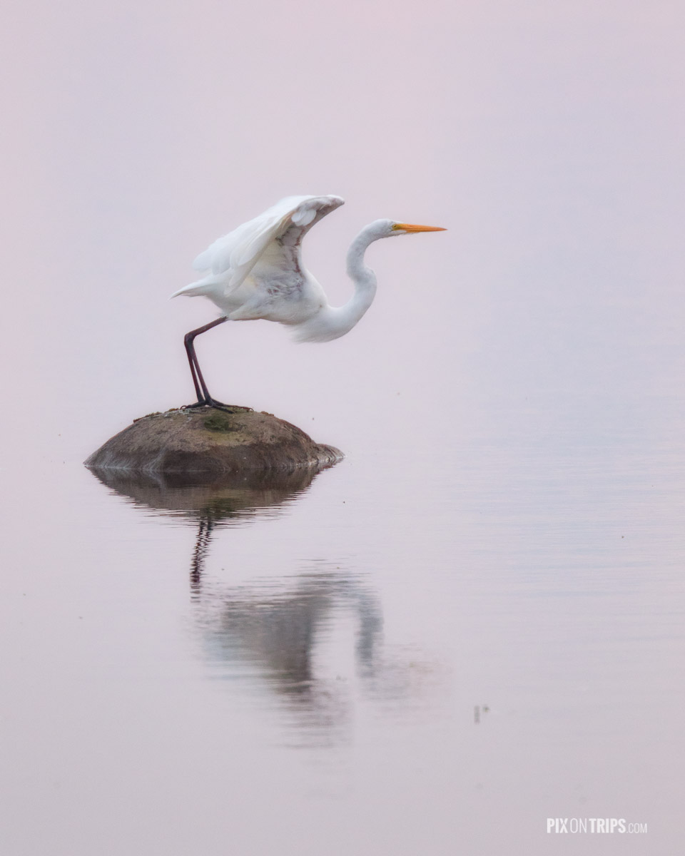 Great egret about to  take off from a rock surrounded by water reflecting pink sky colour, Ottawa, Canada - Pix on Trips