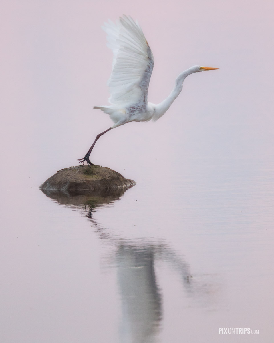 Egret taking off from a rock surrounded by water reflecting pink sky colour, Ottawa, Canada - Pix on Trips