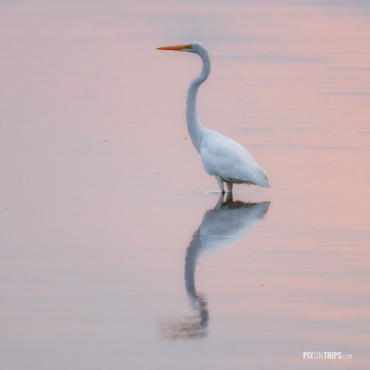 Great egret standing in water with pink reflections at dawn, Ottawa, Canada - Pix on Trips