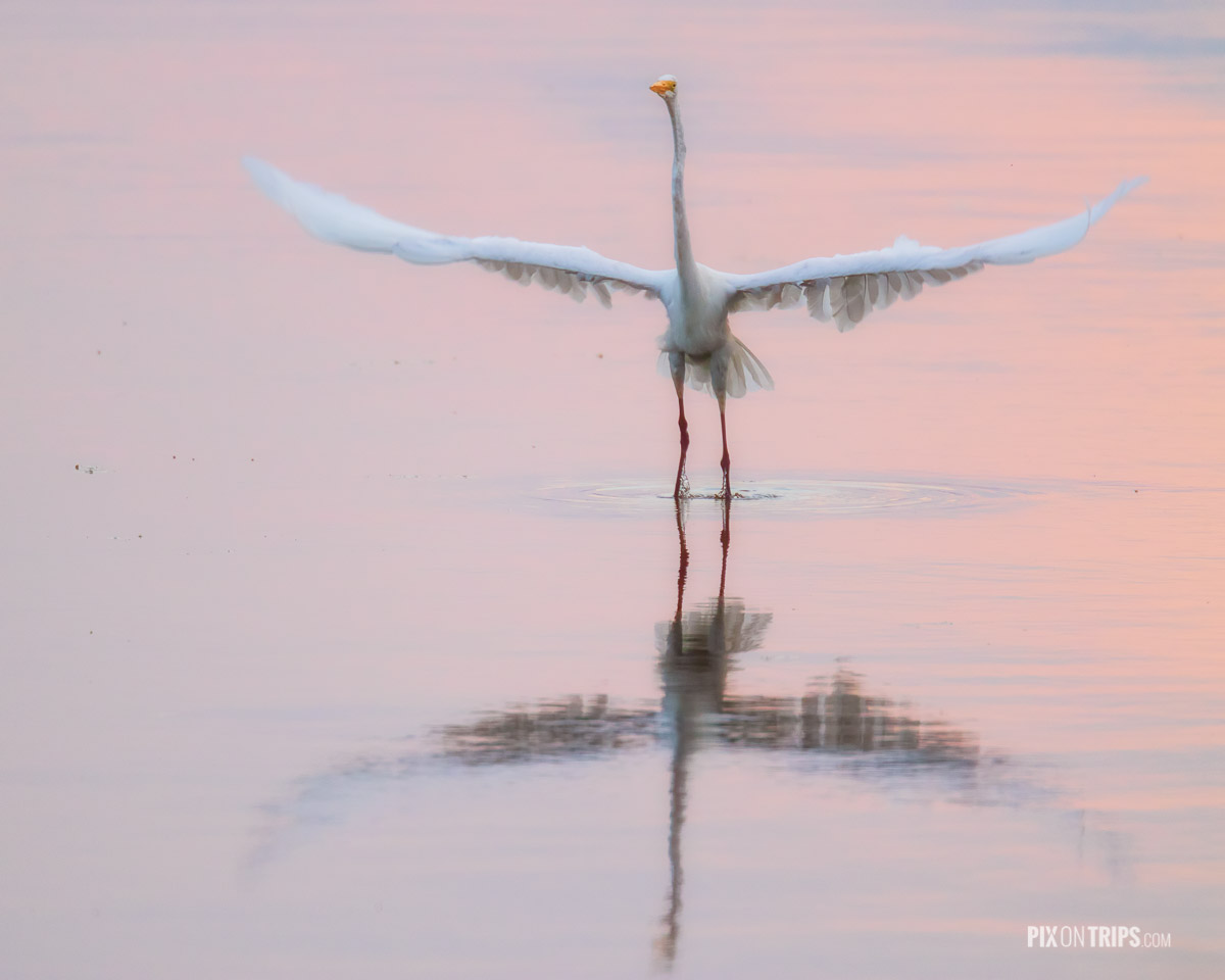 Great egret with wings spread on Ottawa River at dawn, Ottawa, Canada - Pix on Trips