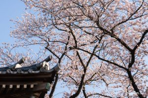 A corner of buddhist temple against cherry blossoms - Pix on Trips