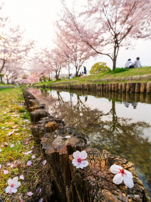 Hanami in Japan during cherry blossom season - Pix on Trips